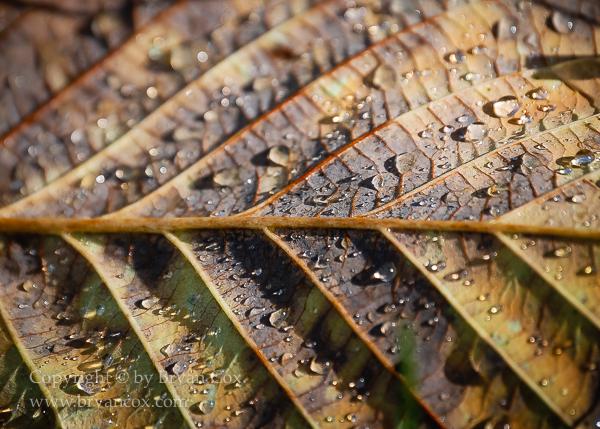 Image of Red alder leaf