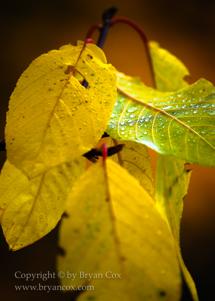Image of Cascara leaves in the fall