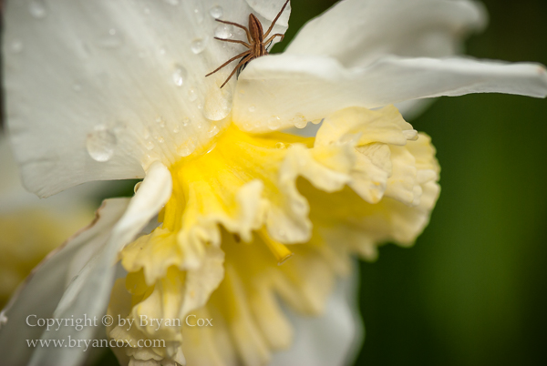 Image of Slender grass spider on daffodil