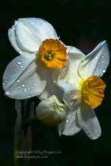Photo of narcissus blossoms