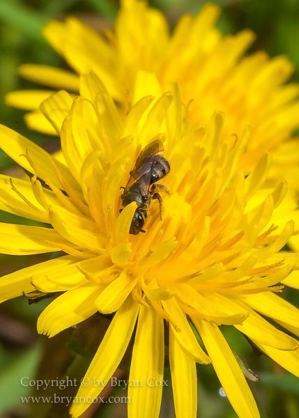 Image of Agapostemon sweat bee & dandelion blossom