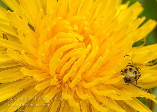Image of Cucumber beetle & dandelion blossom