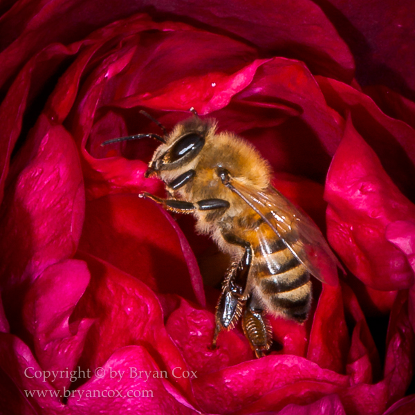 Image of Western honey bee (Apis mellifera)