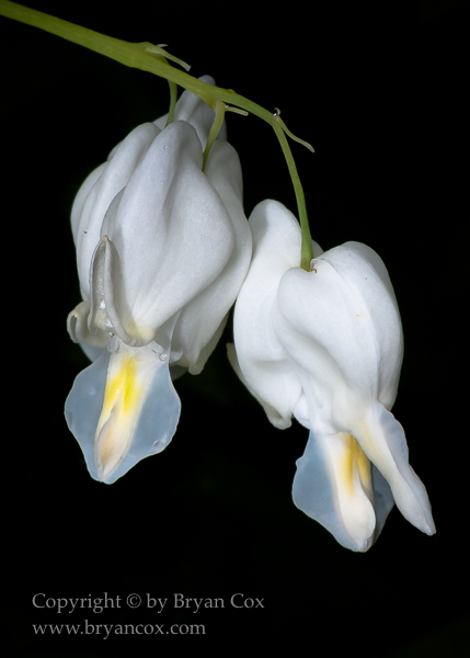 Image of Dutchman's breeches