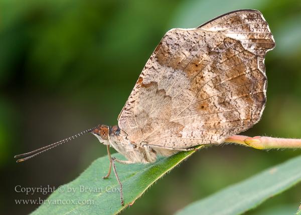 Image of Grecian shoemaker butterfly (Catonephele numilia)