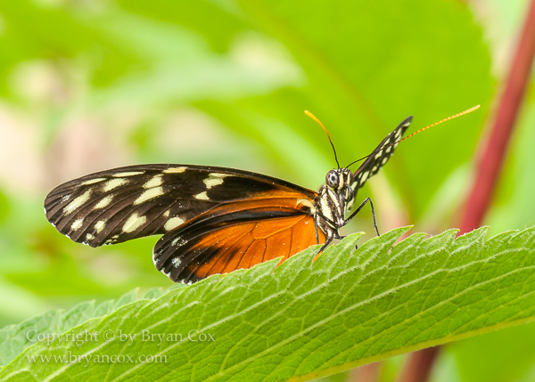 Image of Golden helicon butterfly (Heliconius hecale)