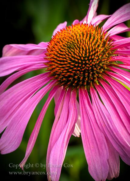 Image of Echinacea