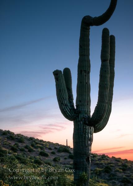 Image of Saguaro cactus