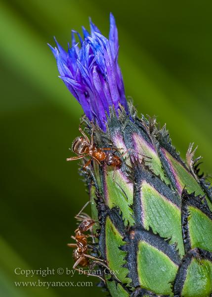 Image of Squarerose Knapweed (Centaurea triumfettii)