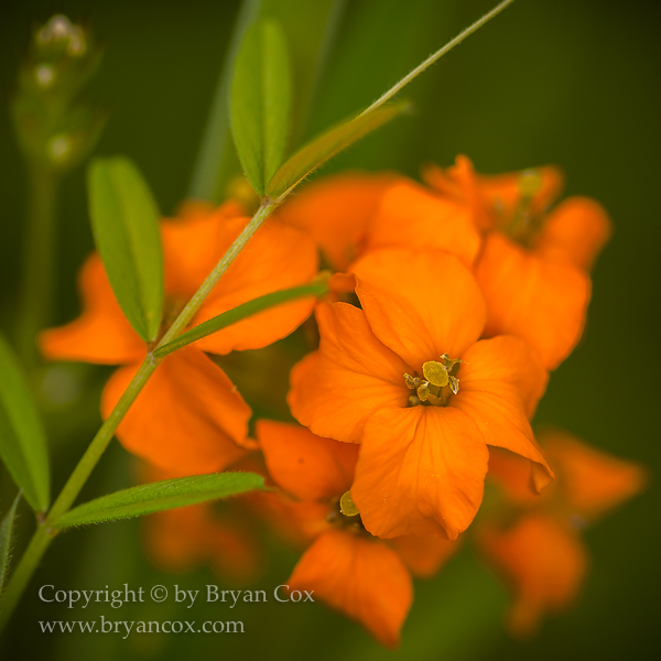 Image of Western Wallflower (Erysimum capitatum)