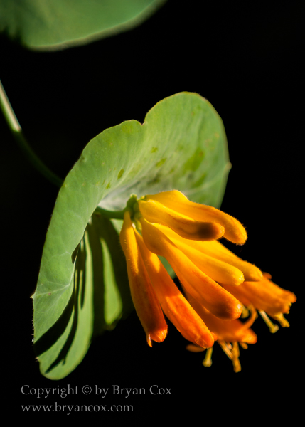 Image of Western trumpet honeysuckle (Lonicera ciliosa)