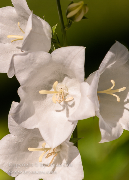 Image of White Bellflower (Campanula)