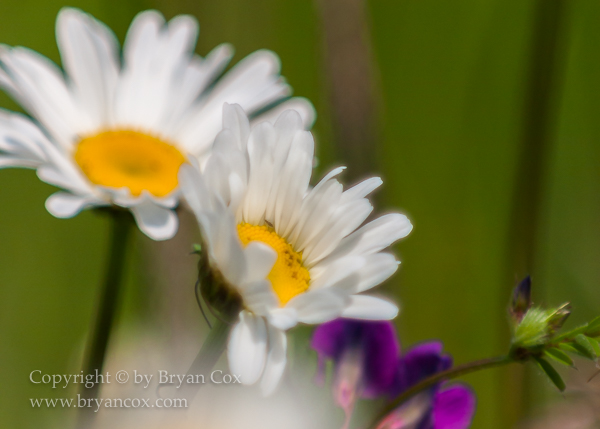 Image of Oxeye Daisy and Vetch