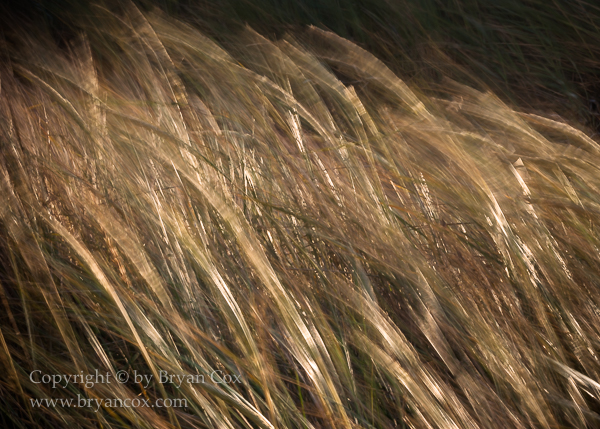 Image of Beachgrass