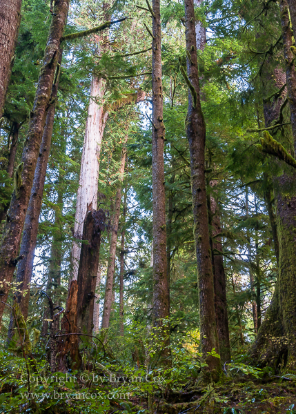Image of Quinault Rain Forest