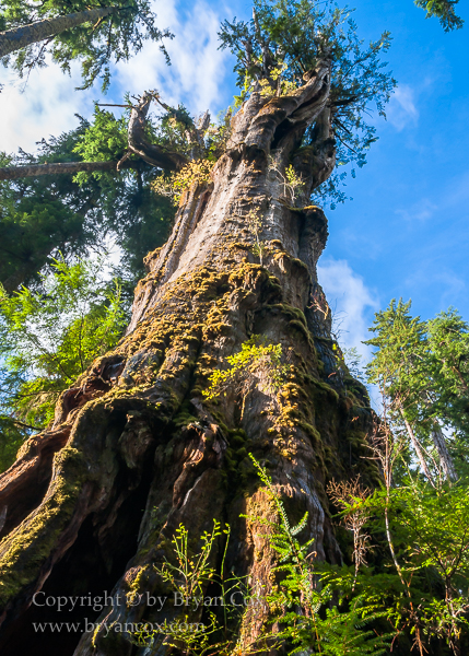Image of Old Growth Sitka Spruce, Quinault Rain Forest