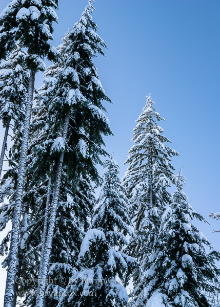 Image of Douglas Fir