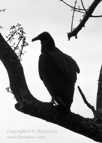 Image of Black Vulture