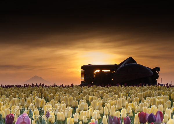 Image of Tractor amid the tulips