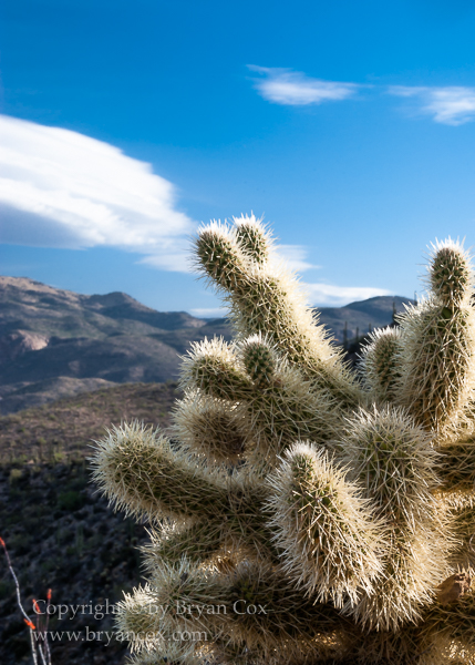 Image of Teddy Bear Cholla (Cylindropuntia bigelovii)