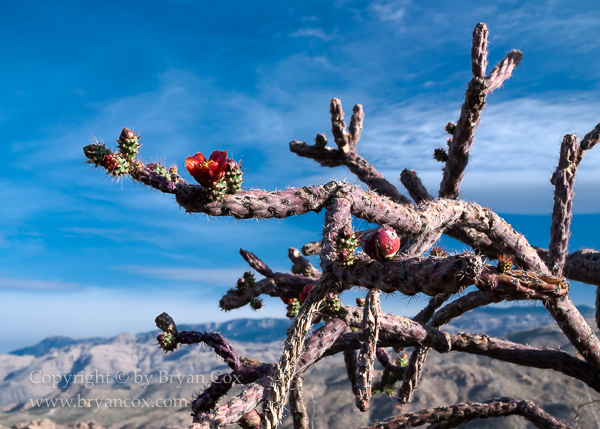 Image of Staghorn Cholla (Cylindropuntia versicolor)