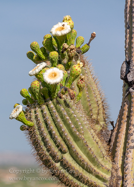 Image of Saguaro in bloom