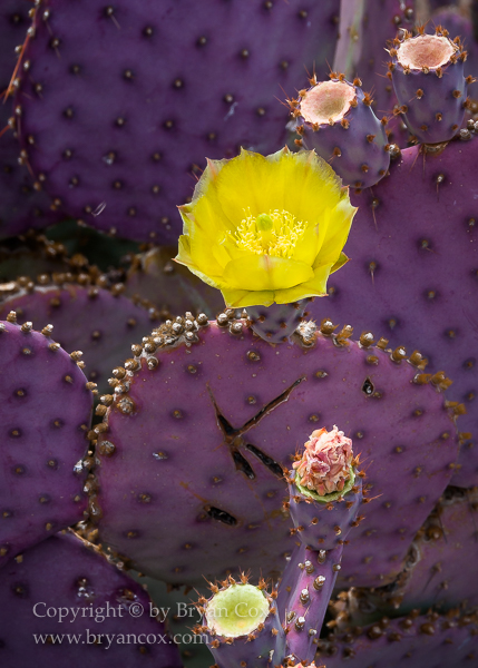 Image of Violet Prickly Pear (Opuntia gosseliniana)