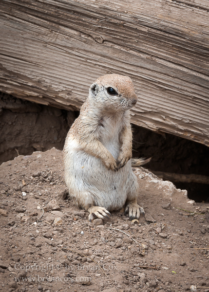 Image of Prairie Dog