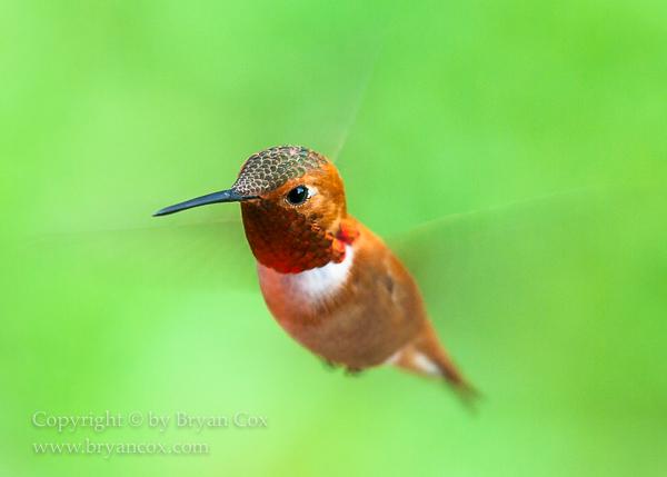 Image of Hummingbirds
