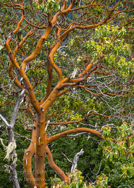 Image of Pacific madrone