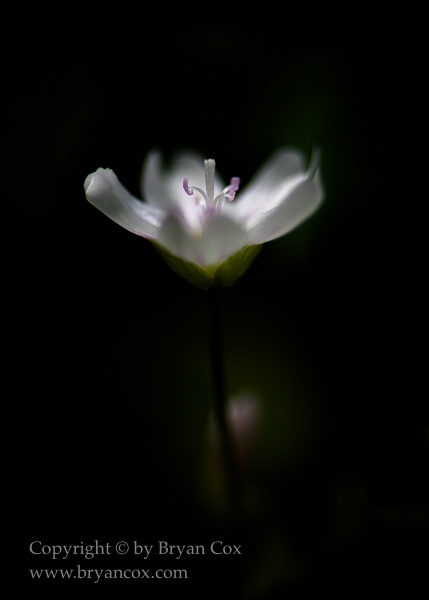 Image of Siberian Miner's Lettuce Blossom (Claytonia sibirica)