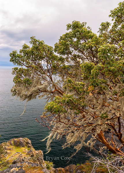 Image of Pacific Madrone & Old Man's Beard