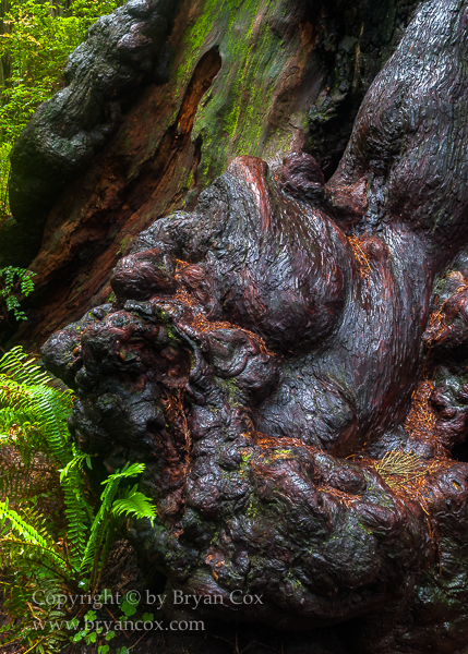 Image of Redwood burl