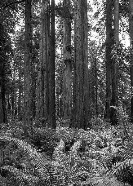 Image of Redwoods