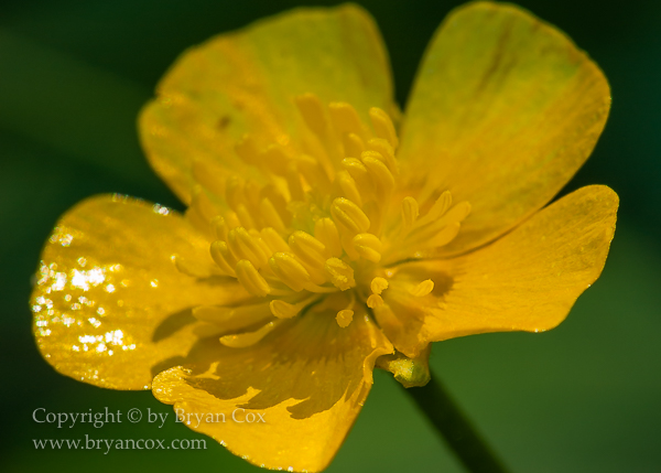 Image of Creeping buttercup (Ranunculus repens)