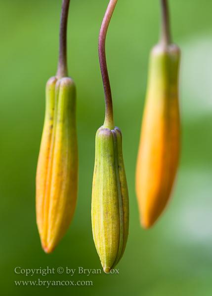 Image of Tiger lilly (Lilium columbianum)