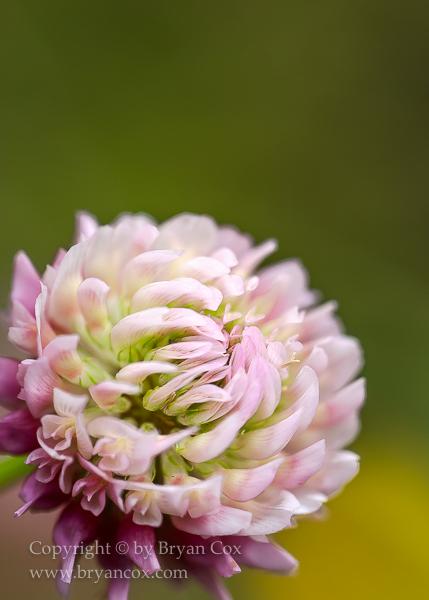 Image of Alsike clover (Trifolium hybridum)
