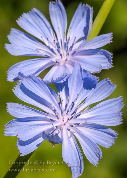 Image of Chicory (Chicorium Intybus)