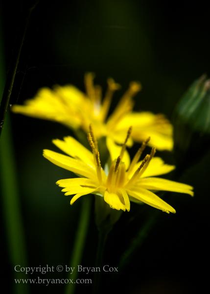 Image of Nipplewort (Lapsana Communis)
