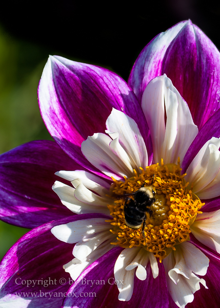 Image of Yellow-faced bublebee on Show-Off dahlia