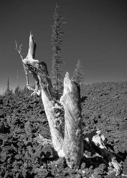 Image of Whitebark pine snag