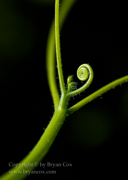Image of Squash tendrils