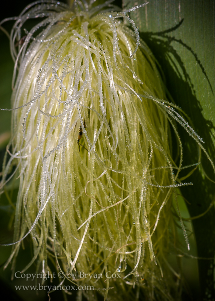 Image of Corn silks