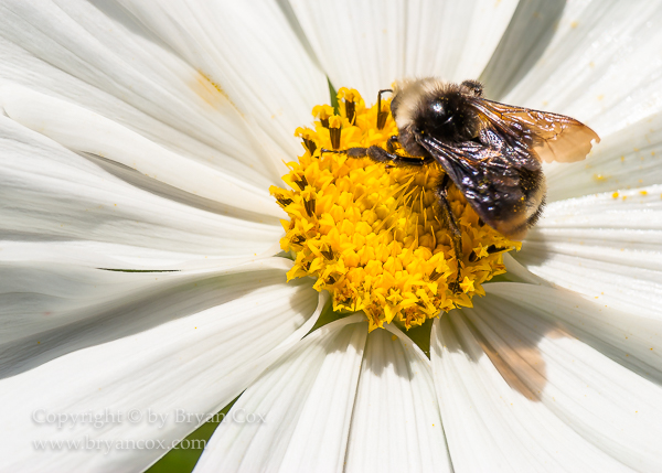 Image of Yellow-faced Bumblebee, Cosmos
