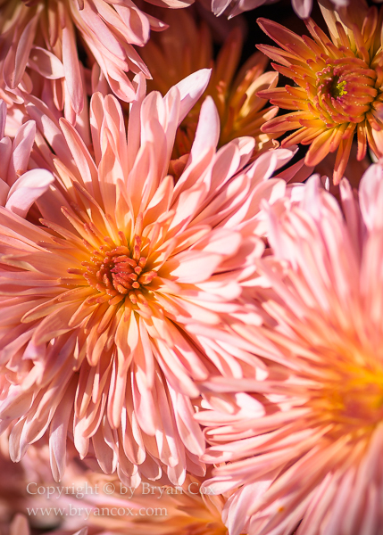 Image of Chrysanthemums