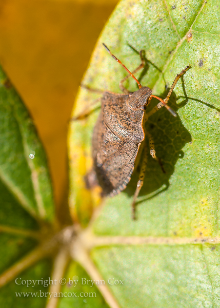 Image of Brown Marmorated Stink Bug
