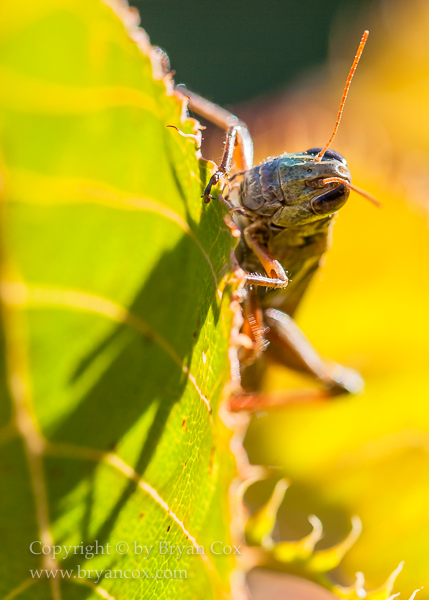 Image of Grasshopper
