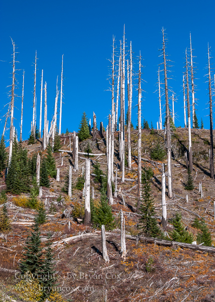 Image of Blasted forest near Mount St. Helens