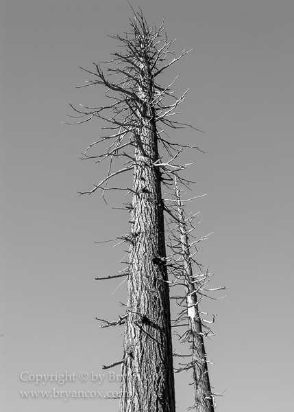Image of Blasted Douglas Firs near Mount St. Helens