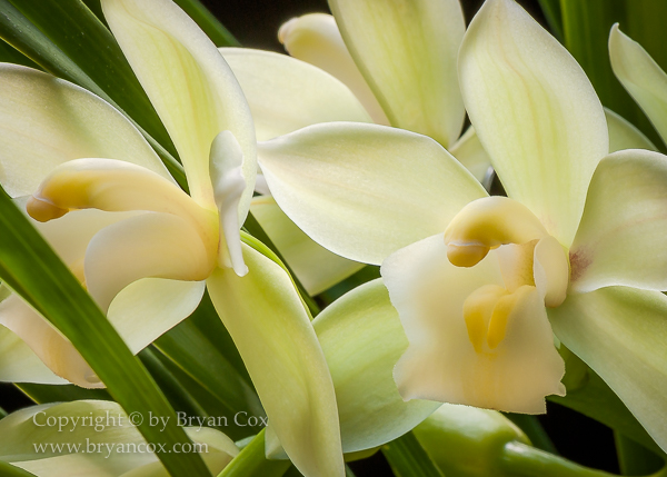 Image of Dendrobium Orchid
